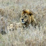 The lion of the Serengeti